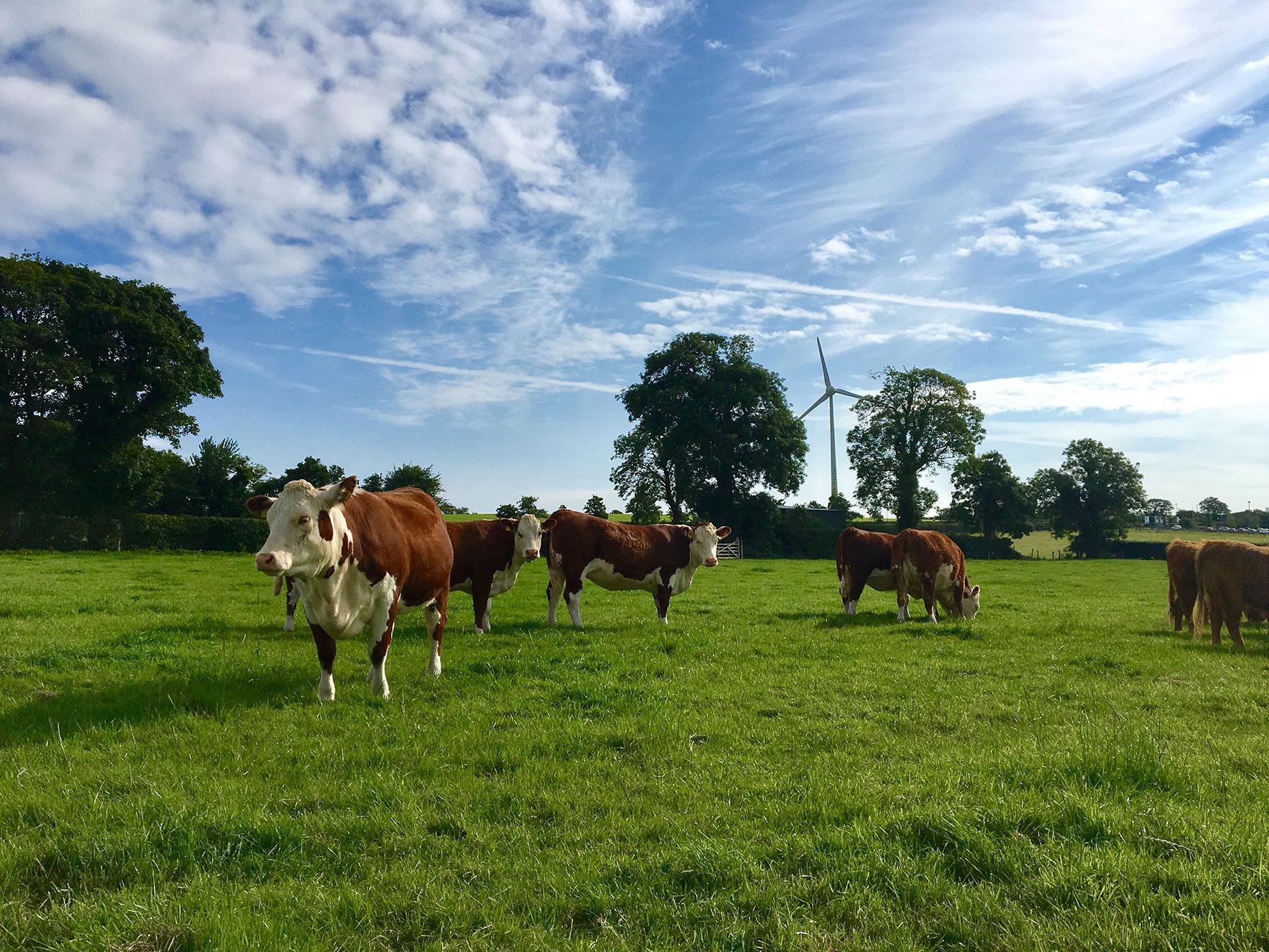 Cattle,-BL
