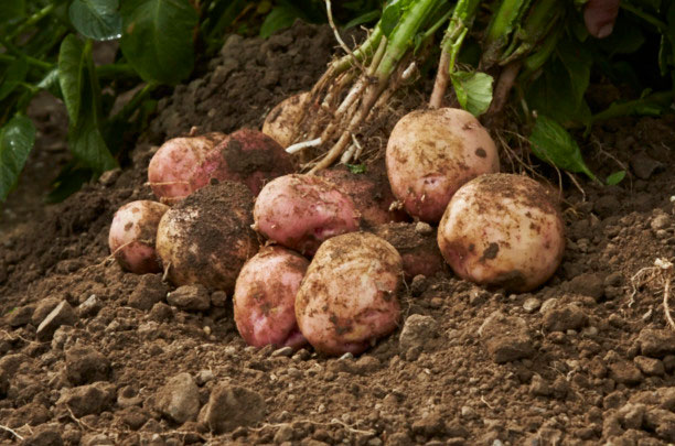 Fresh-Produce-Potatoes-Pinks_06A8067[1]